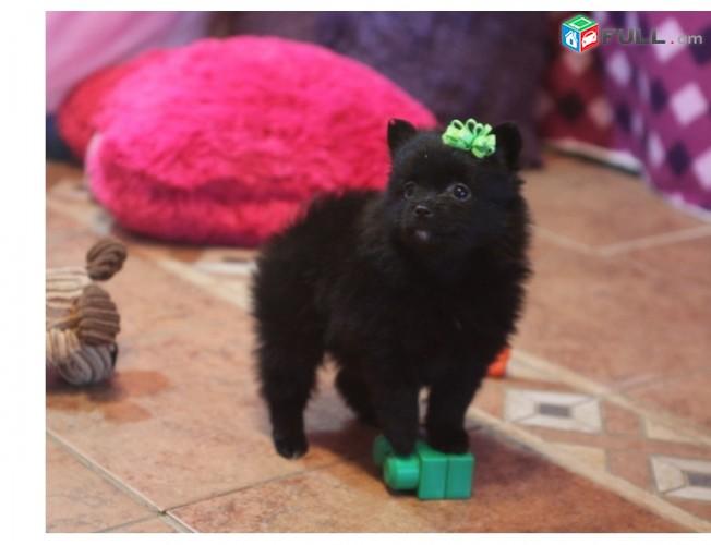 Pomerania puppies ընդունման համար
