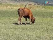 Վաճառվում է առաջին անգամ ծնած երինջ