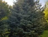 Եղևնի,  елка, exevni