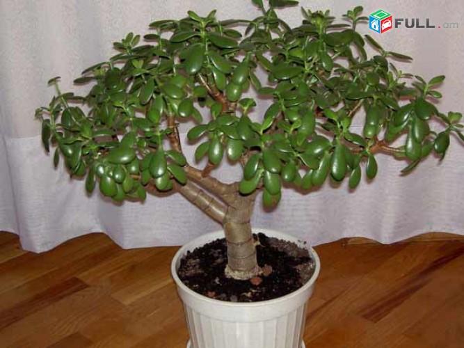 Денежное Дерево. Толстянка или Денежное дерево