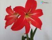 Լիլիա ծաղիկ