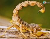 Պայքար կարիճների դեմ Կարիճների ոչնչացում, կարիճ, դեռատիզացիա, մորմ, скорпион
