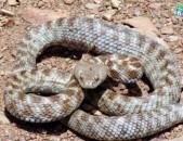 Gyurza payqar oceri dem Oc Պայքար օձերի դեմ. soxunner odzer борьба против змей oc gyurza