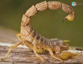 Կարիճների ոնչացում vochnchacum  Պայքար կարիճների դեմ  Կարիճ կարիճների դեմ Karich karichneri dex скорпион борьб Պայքար կարիճների դեմ борьба против скорпионов karich, morm VNASATUNER