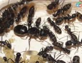Մրջուններ եւ ֆորմիկարիաններ