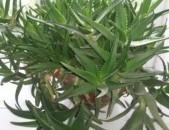 Ալոե Aloe Aloen buys
