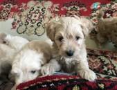 Poodle / Պուդել / pudel shun շուն