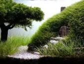 Яванский мох