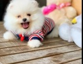Померанский шпиц Pomeranian spitz POMERANSKI SHPIC PAMERANSKI SHPIC shpic boo sh