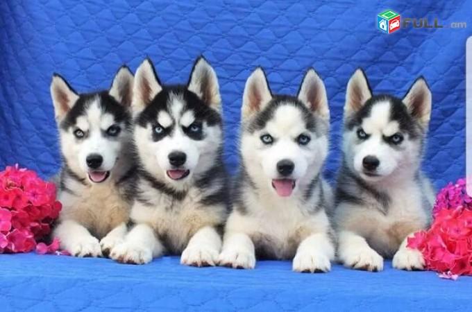 Վաճառվում են Сибирский хаски ցեղատեսակի շան ձագուկներ