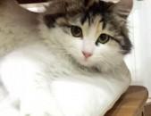 Очень красивый, пушистый котенок помесь сибирской породы