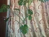 Monstera գեղեցիկ բույս