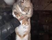 Krolik, rezen, кролик