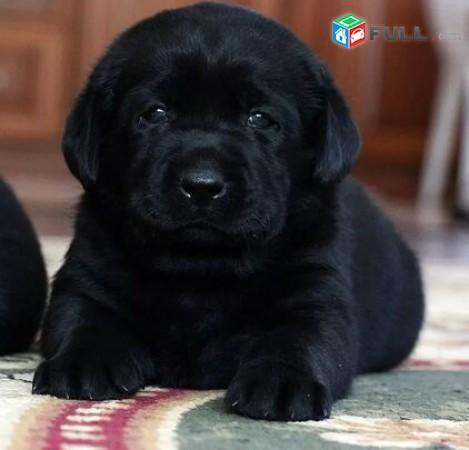 Labrador / Лабрадор