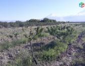 Պտղատու Դեղձի այգի 1հա, Նոր Կյանք գյուղում