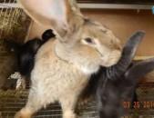 Զտարյուն ճագարներ Գերմանական Ռեզեն ու Ֆլանդեր