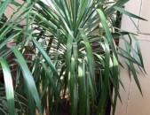 Palma partam aroxj 1.80sm, 10 tarva palmaner