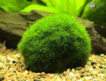 Ակվարիումային մամուռ, мох аквариумный
