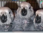 Էժան Ժակո թութակ, дешево попугай жако