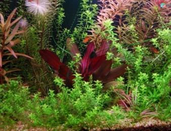Ակվարիումային բույսեր