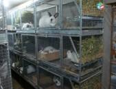 Կալիֆորնիական ցեղատեսակի ճագարներ