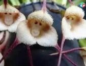 Ես վաճառում եմ խոլորձի սերմերը կապիկի դեմքով (4)