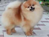 Shner, shun, dog, շուն, շներ, собака, щенки, shpic, shpitz