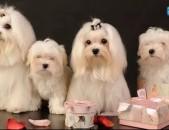 Shner, shun, dzag, dzager, dog, շուն, շներ, собака, щенки, maltese, Мальтийская