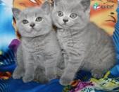 Բրիտանականա կատվի ձագուկներ ներմուծված