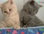 Котята, котики, коты, котенок, կատուներ, շոտլանդական կատուներ