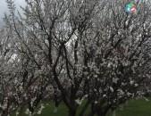 Ծիրանի և խնձորի այգի, ծիրանի այգին 4000 քառակուսի է, խնձորինը 2000 քառակւսի է, 1