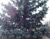 Arcatapayl exevni елка серебристая