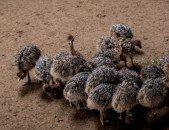 Healthy ostrich chicks  and eggs for sale