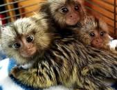 Սուպեր գեղեցիկ կապիկ ՝ իրավական վկայականով: