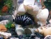 Akvariumi dzuk (cixrid)