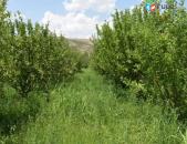 Kod H 0059 Վաճառվում է խնձորի այգի Աշտարակում