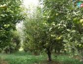 KOD H 0193 խնձորի այգի