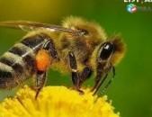 Caxkaposhi ծաղկափոշի пыльца цахкапоши