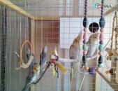 Tutakner valnisti, karela ալիքավոր թութակներ попугаи корелла