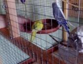 Tutakner valnisti ալիքավոր թութակներ волнистые попугаи