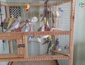 Valnisti tutakner волнистый попугай ալիքավոր թութակներ