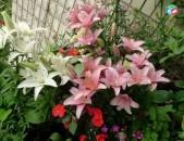 Голландские лилии разных сортов и цветов (саженцы с бутонами)