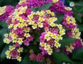 Лантана- красиво цветущее тропическое растение