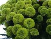 Саженцы Хризантемы зелёной сорта Йоко оно