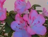 Азалия японская (цветущая)