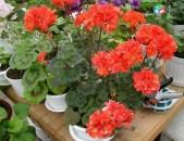 Пеларгонии сортовые махровые и ампельные различных цветов