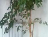 Фикус бенджамина взрослые и молодые растения