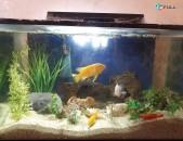 100 l akvarium cixlid dzknerov
