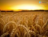 1-ն ը հայաստանում: Մատչելի գներով Ձավարեղեն (ցորեն, գարի, եգիպտացորեն)