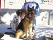Շների վարժեցում / Дрессировка собак / Dog trainings